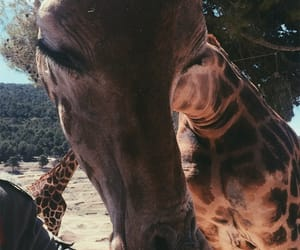 animals, giraffe, and spain image