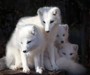animals, wolf, and white image