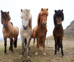 beautiful, iceland, and icelandic horse image
