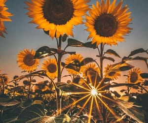 aesthetic, lovely, and sunflower image