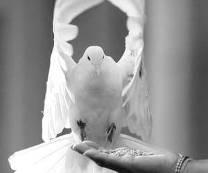 bird, dove, and white image