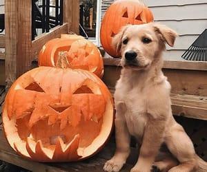 dog, animal, and pumpkin image