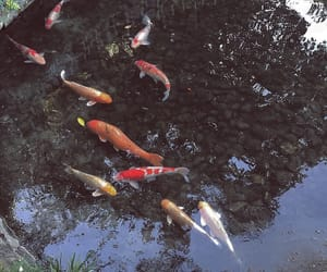 fish, white, and koi image