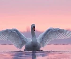 sunset, Swan, and wings image