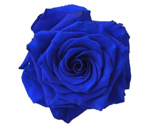 blue, rose, and flower image