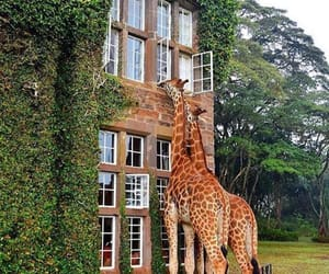 giraffe, nature, and travel image
