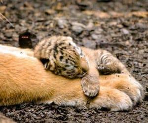 animal, tiger, and cub image
