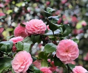 flowers, camellia, and garden image