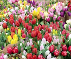 beautiful, tulip, and colorful image