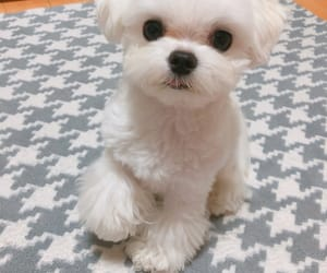 dog, puppy, and maltese image