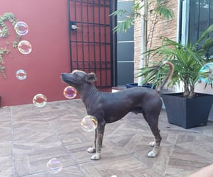 bubbles, doglover, and xoloitzcuintle image