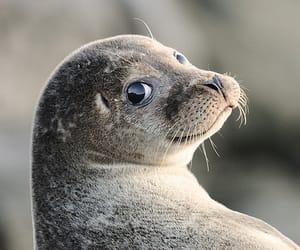 animal, seal, and foca image