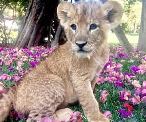 animal, lion, and flowers image