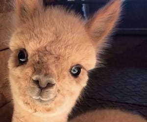 animal, cutie, and lama image