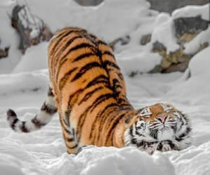 tiger, snow, and animals image