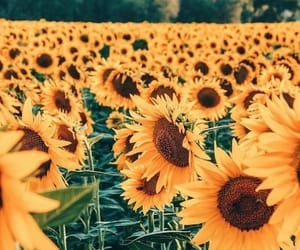 sunflower, nature, and photography image