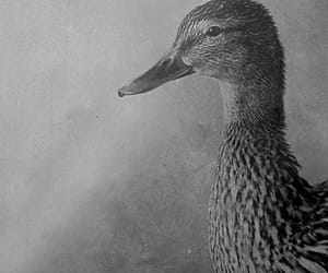 black and white, duck, and photography image