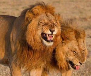 animals, lion, and ضٌحَك image