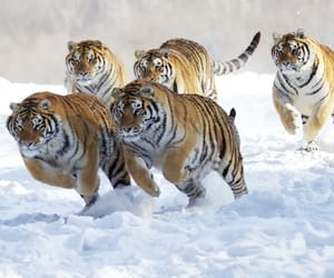 tiger, animals, and snow image