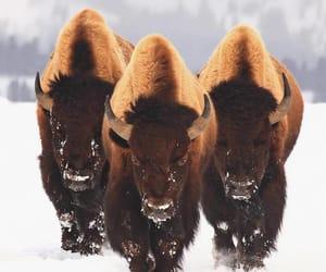 animal, snow, and buffalo image