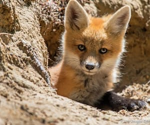 baby animal, fox, and nature image