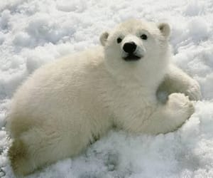 cute, Polar Bear, and bear image