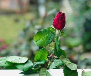 flowers, ًورود, and بوس image