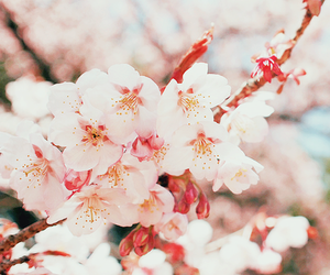 flowers, cherry blossom, and nature image