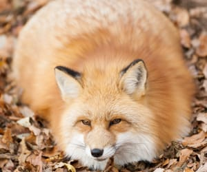 animals, beautiful, and foxes image