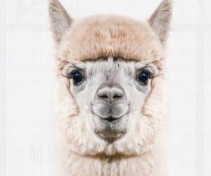 animal, cutie, and lama image