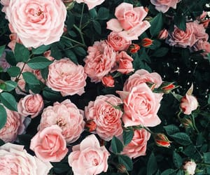 wallpaper, background, and roses image