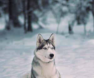 dog, snow, and huskys image