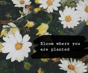 bloom, daisy, and flower image