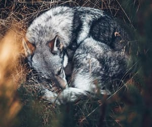 fauna, forest, and wolf image