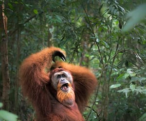 Orangutan by Tatiana Pais in Indonesia