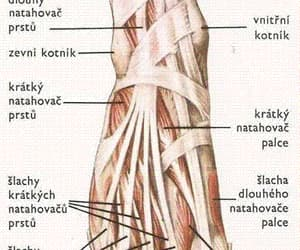 anatomy, tissue, and foot image