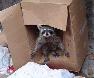 racoon and cute image