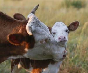 cows image