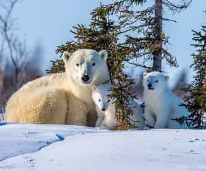 Polar Bears, Family by Nedko Nedkov
