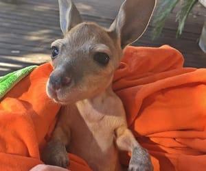 animal, baby, and kangaroo image