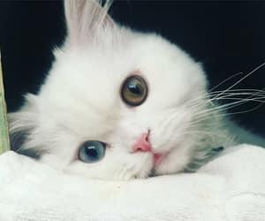 animals, cat, and eyes image
