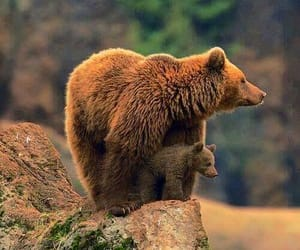 bear, animals, and nature image