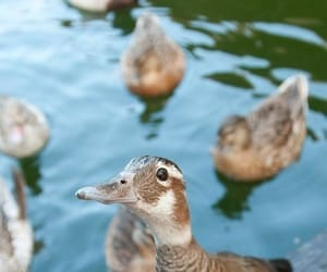 animal, ave, and duck image