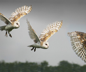 owl, bird, and feather image