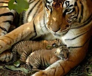 tiger and tigers image