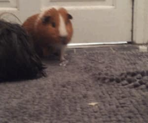gif and guinea pig image