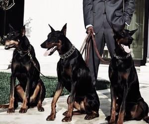 dog, doberman, and man image