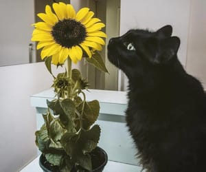 black, cat, and sunflower image