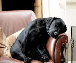 article, black lab, and Sweetie image