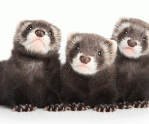 animals, cute, and ferret image